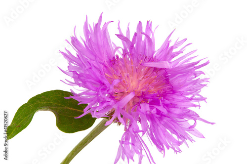 Purple Cornflower isolated
