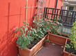 tomato plants grown on a vegetable garden in a balcony