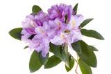 Fototapety Pink rhododendron, azalea