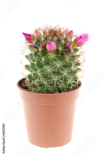 Beautiful flowers of cactus in a pot