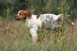 épagneul breton qui fait pipi - lever la patte