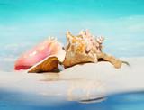 Queen Conch Shells on The Beach Sand. Caribbean