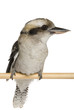 Kookaburra (genus Dacelo) perched on white background.