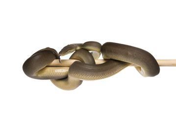 Olive python, Liasis olivaceus, on a white background.