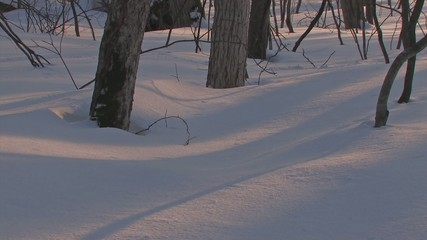 Winter Forest in Towada Lake,sunset time,Aomori,Japan