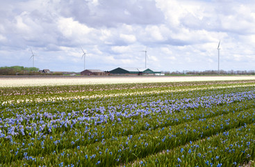 field of blue hyacinth
