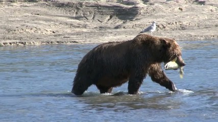 Grizzly Bear cought a fish