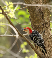 Red-bellied Woodpecker, Melanerpes Carolinus, Perched