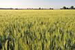campo di grano al tramonto