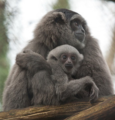 mother and baby gibbon 6612