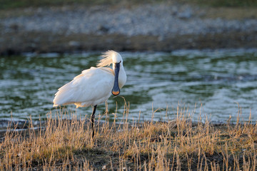 Spoonbill standing on small island.