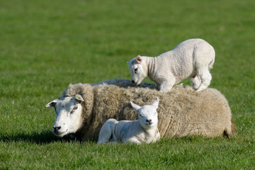 Two lambs lying with and on mothers back.