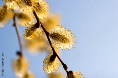 blooming  catkins of  willow against the sky