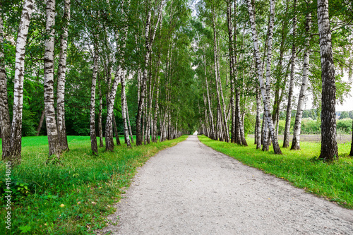 Fotobehang Berkbosje path in birch forest