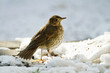 Turdus philomelos - Grive musicienne - Song Thrush