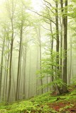 Landscape of beech forest on a foggy spring morning
