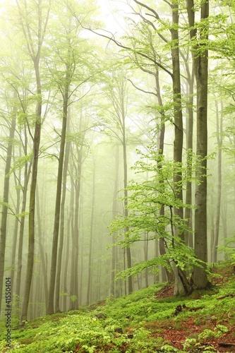 krajobraz-bukowy-las-na-mglowym-wiosna-ranku