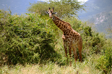 Giraffe on the Serengeti Tanzania East Africa