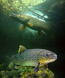 The brown trout (Salmo trutta) and a big pike (Esox lucius).