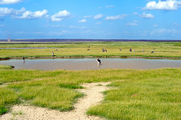 White Storks eat in the lake. Africa savanna