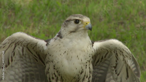 saker falcon close up 02
