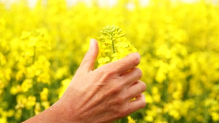 Woman caresses canola