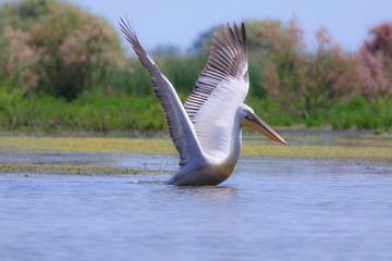 Great white pelican in natural environment
