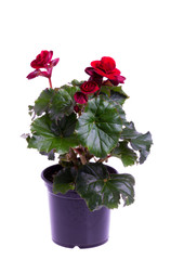 Begonia plant in pot isolated on white