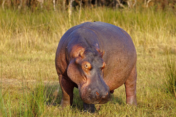 Daddy Hippopotamus