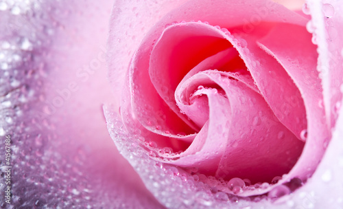 closeup photo of ping rose with drops © dimasobko