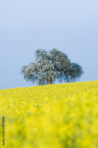 Field of canola and tree in bloom
