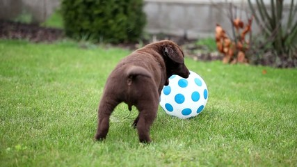 Chocolate Labrador Puppy with a Ball