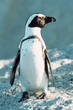 South Africa, Cape Peninsula, Jackass penguin