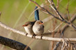 Splendid Fairy-wrens on a branch