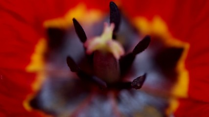 close up on the pistil and stamens of the red tulip