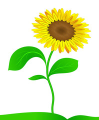 Sunflower. Vector.