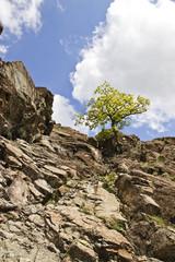 singolo albero su rocce