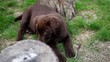 chocolate labrador is eating a twig