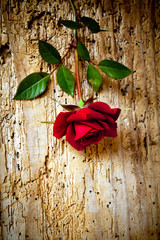 rosa rossa su tavola tarlata