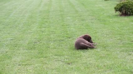 Chocolate Labrador Puppy with a Ball