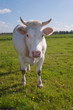 White cow with horns looking expectantly