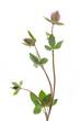 Rotklee (Trifolium pratense) im aufblühen