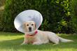 Labrador convalescente in giardino
