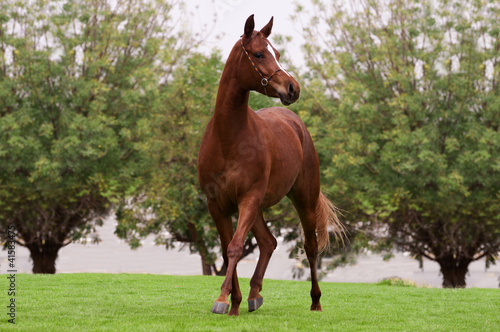 Bay arabian horse