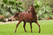 Showy bay arabian horse