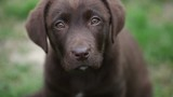chocolate labrador is watching