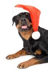 Santa Rottweiler