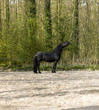 Funny black horse stretched his head up