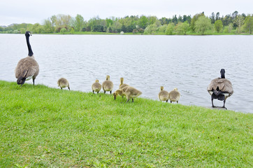 Family of Canada Geese by the Rideau Canal Ottawa