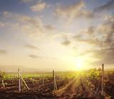 Fototapety vineyard